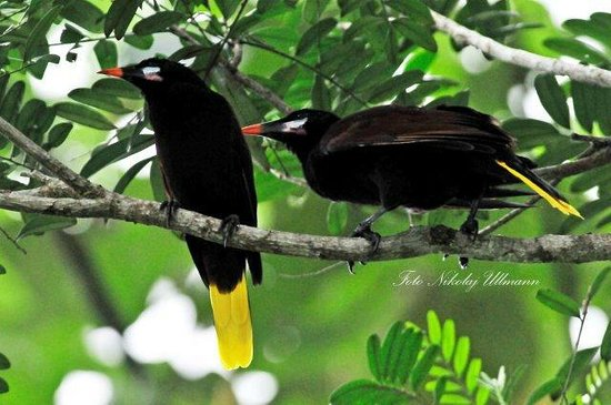 Selva Verde Lodge: Montezuma Oropendola