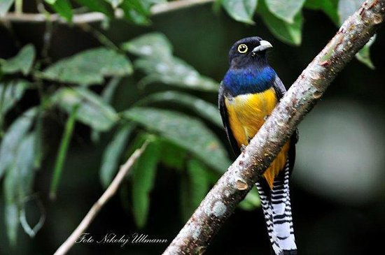 Selva Verde Lodge : Violaceous Trogon