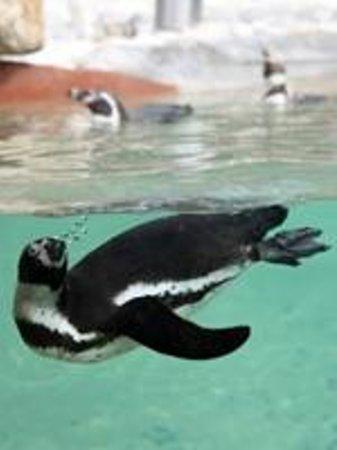 Zoo Santo Inácio : Pinguim de Humboldt   Humboldt Penguin