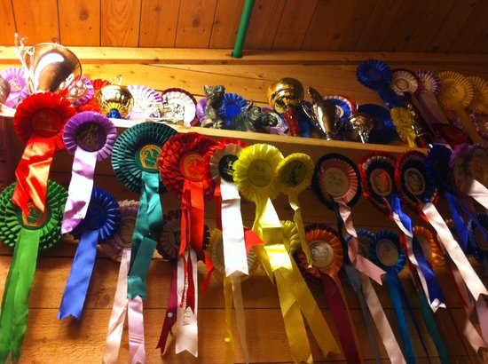 Lyngshestlandet: Northern Norway`s Lyngshest (Lyngs-horse): Stable Reisa won a lot!