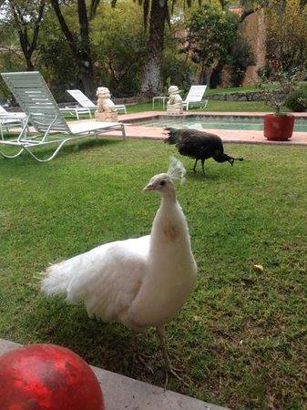 Antigua Villa Santa Monica: pavo reales en los jardines