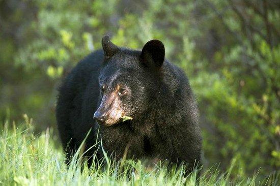 Aux Berges du St-Maurice: Ours noir / Black bear