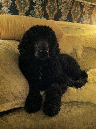 The Animas B&B at the Wingate House: Poodle in the parlor