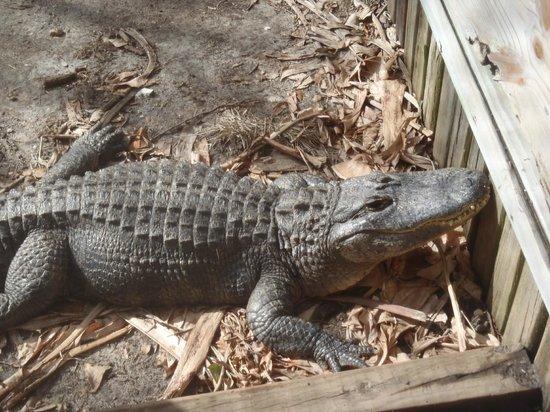 Gulf World Marine Park: Alligator