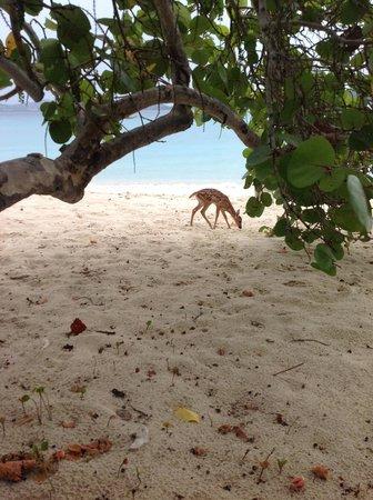 Scott Beach: Deer