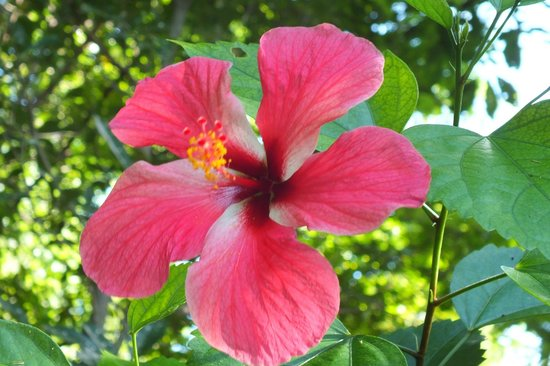 The Royal Sands: red hibiscus