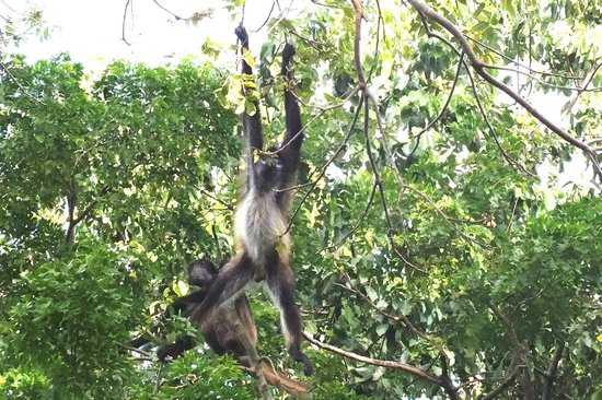 The Royal Sands: spider monkey