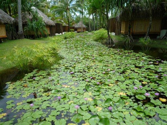Bora Bora Pearl Beach Resort & Spa: Lily pond near spa