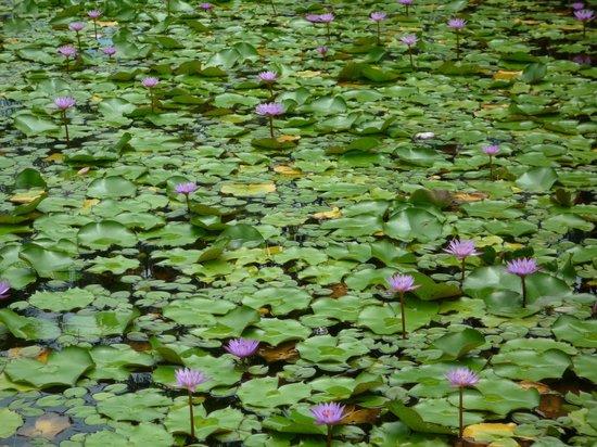 Bora Bora Pearl Beach Resort & Spa: Close up of lily pond