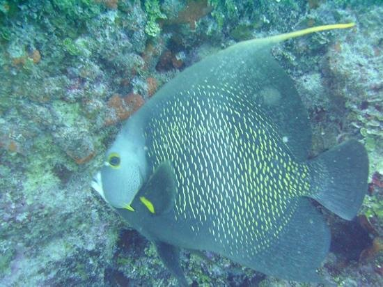Reef Divers Cayman Islands: french angel fish