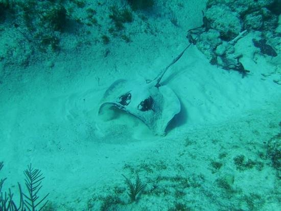 Reef Divers Cayman Islands: stingray