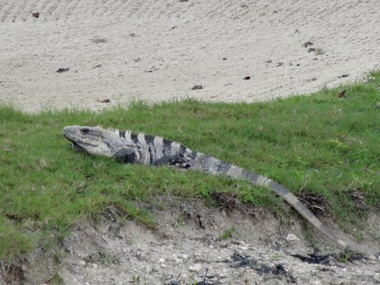 Moon Palace Cancun: Iguana at sand trap