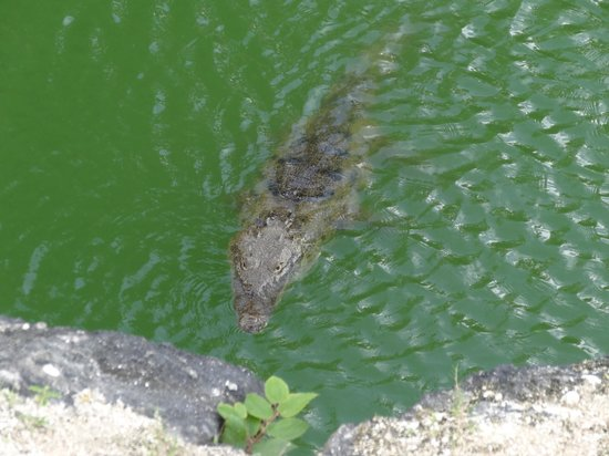 Moon Palace Cancun: Alligator in pond at golf course