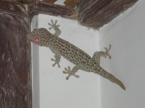 Rama Residence Petitenget: This granddaddy of the geckos (the size of my forearm) was waiting outside for me one evening.