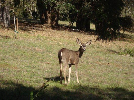 Post Ranch Inn: Deer on grounds