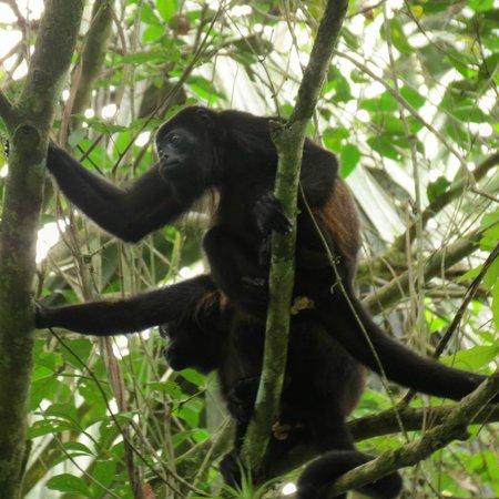 Sabalos Lodge: Howler Monkeys at Sabalos