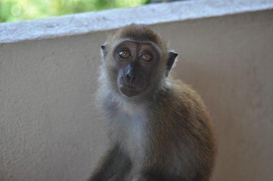 Jerejak Rainforest Resort : Monkey at Hotel