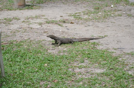 Jerejak Rainforest Resort : Baby Dragon at hotel (Seen six feet long if you are lucky)