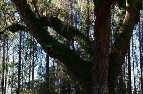 Boone Hall Plantation: Resurrection Fern