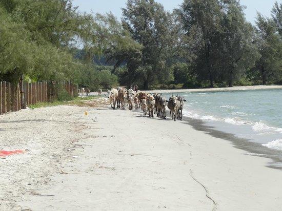 mucche al pascolo sull`otres beach