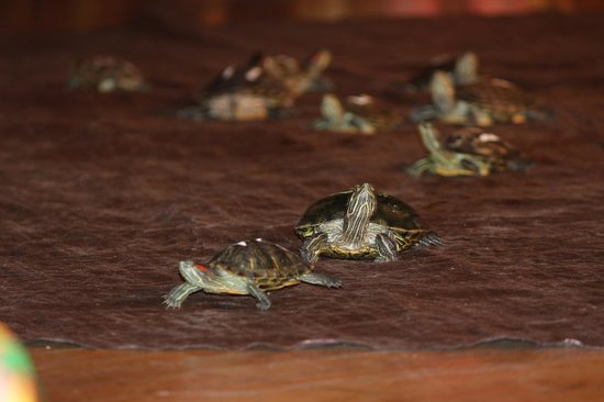 Villa Roma Resort and Conference Center: Live turtle races!