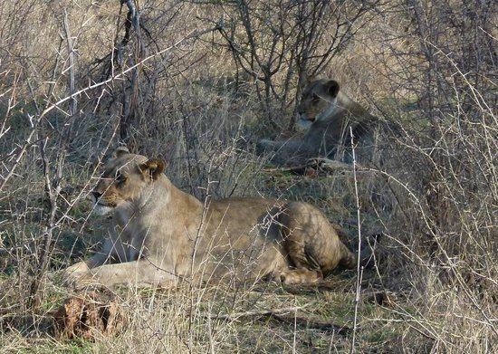 Buffalo Ridge Lodge: Lions on first drive