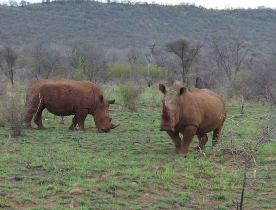 Buffalo Ridge Lodge: Huge Rhinos