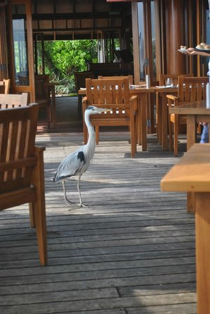 Kurumba Maldives: Local bird at the restaurant