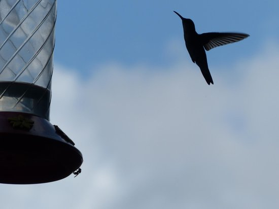 Yerette: Shadow hummingbird
