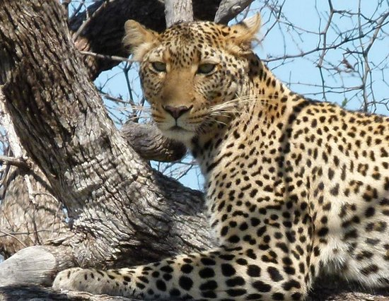 Rhulani Safari Lodge: One of my leopard pics