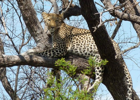 Rhulani Safari Lodge: Leopard 2
