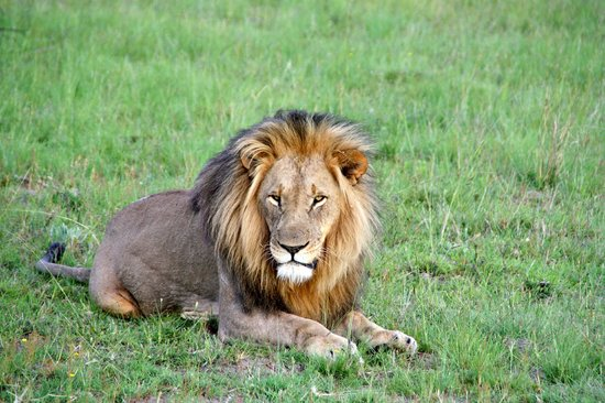 Idwala Game Lodge: Father Lion