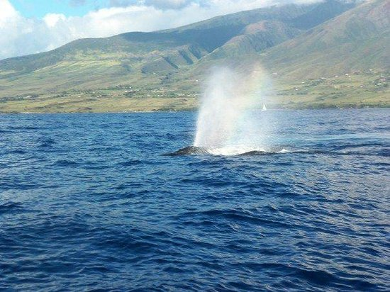 Sheraton Maui Resort & Spa: Whale watching tour in Lahaina.