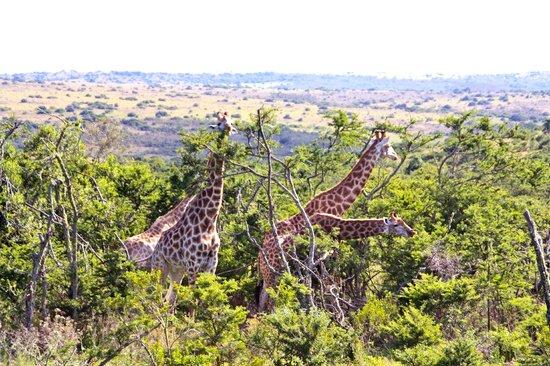 Idwala Game Lodge: giraffe