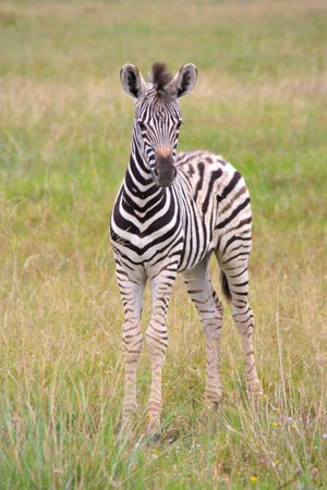 Idwala Game Lodge: young zebra