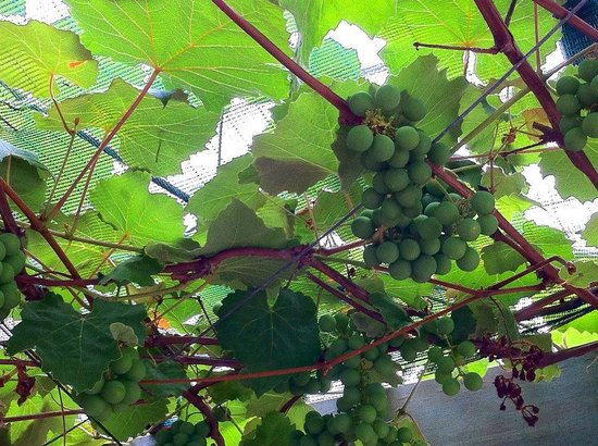 Wild on Waiheke: Grape closeup