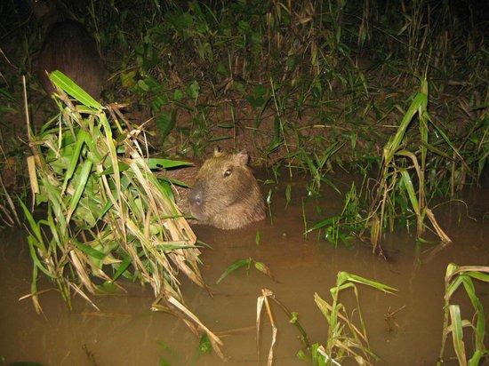 Refugio Amazonas: Capybara