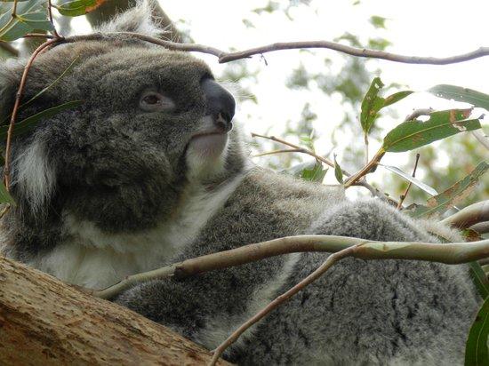 菲利普岛自然公园-考拉保护中心照片