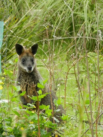 Koala Conservation Centre: Wallaby