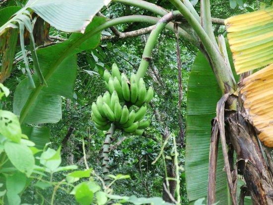 Finca Canas Castilla: Guido s Bananen