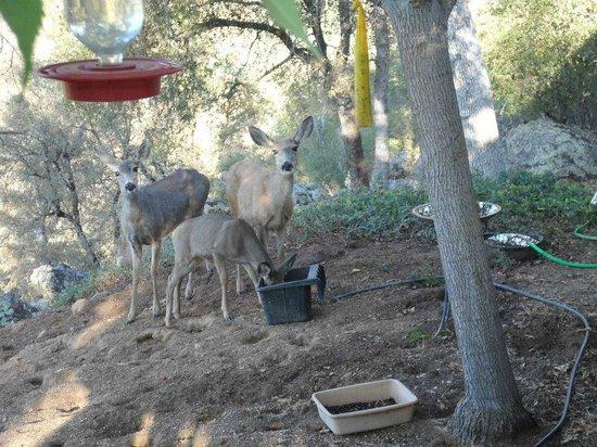 """Yosemite Bed and Breakfast: Wildlife in the """"garden"""""""