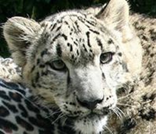 Zoological Wildlife Foundation: Yeti our Snow Leopard