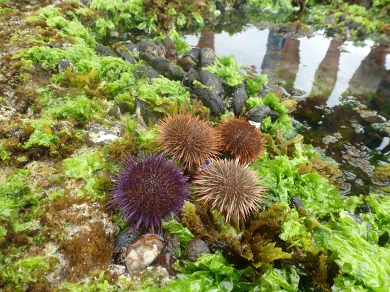 De Hoop Nature Reserve Cottages: Sea urchins on our guided tidal pool marine walk - we had a fantastic guide