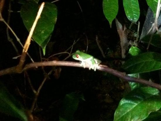 La Paloma Lodge: red eye tree frog on a night hike
