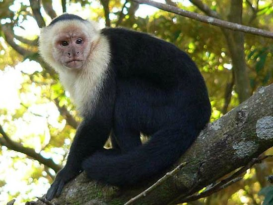 Rainbow Valley Lodge: White-headed Capuchin near cabin's front porch