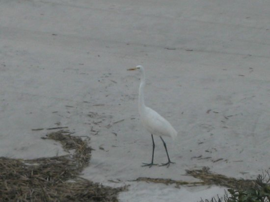 Lexington Inn & Suites: beautiful egret right on the beach in front of us!