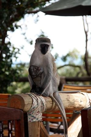 Sakyo Day Tours & Safaris : Masai Mara monkey