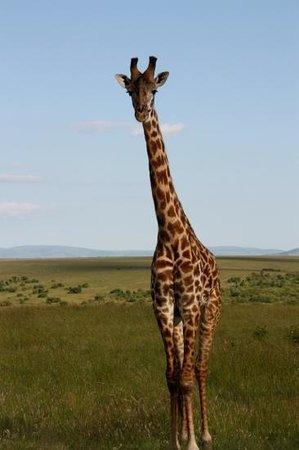 Sakyo Day Tours & Safaris : Masai Mara giraffe