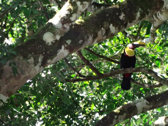 Toucan in trees above pool at Villas Rio Mar