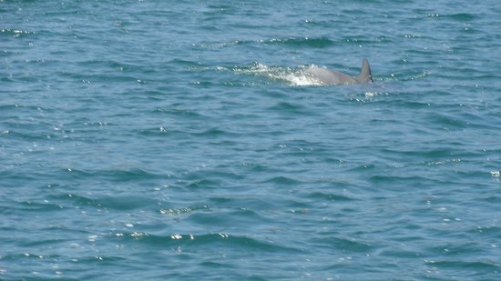 Jervis Bay Wild Cruises: Dolphins swimming near the boat
